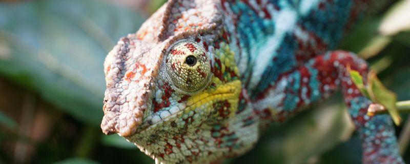 151221_Riedel_Banner Chameleon